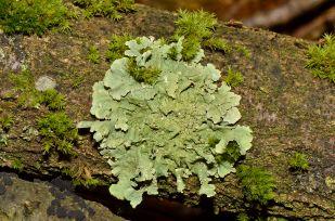 Flavoparmelia_caperata_-_lichen_-_Caperatflechte.jpg
