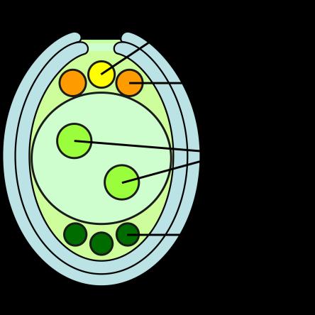 2000px-Embryosac-en.svg.png