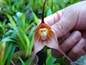 dracula-orchid-monkey-face-6.jpg