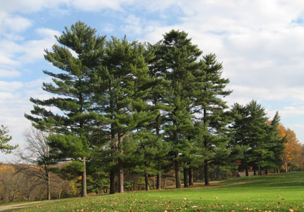 Stand-of-White-Pines.jpg