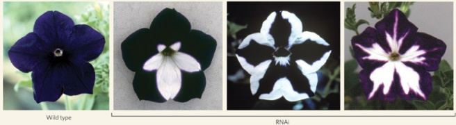 Figure-1-First-phenotypic-description-of-RNA-interferenceWhite-sections-in-petunia.jpg