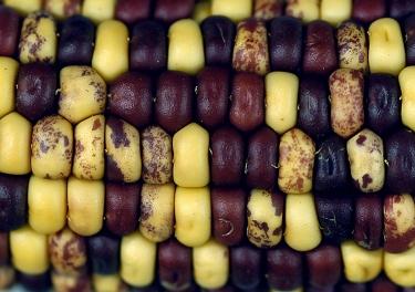 corn_genome5_h.jpg